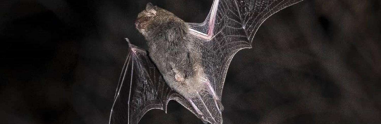 С этого года Институт зоологии планирует восстановить изучение летучих мышей, их биологию, миграции, а также роль в циркуляции и переносе вирусных инфекций.